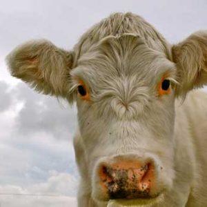 osteopathe osteopathie vache animalier